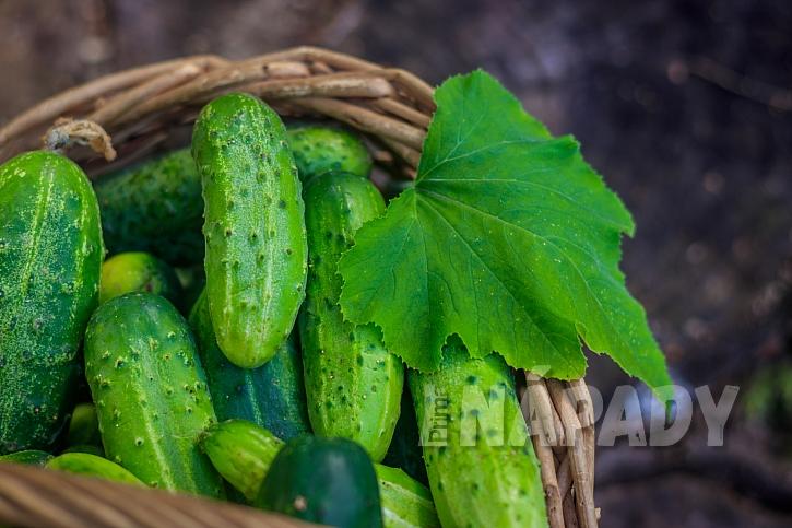 Molice mají rádi i zeleninu, je dobré je likvidovat bez použití chemie (Zdroj: depositphotos.com)