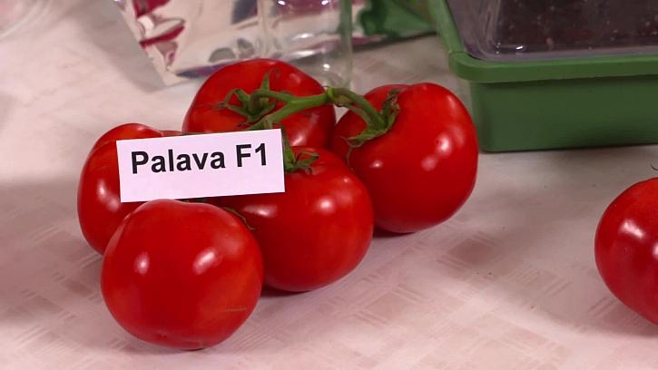 Odrůda Palava F1