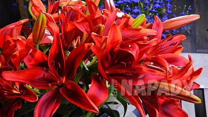 Užijte se květy lilií i doma bez bolesti hlavy a pylových skvrn: asijská lillie kultivar Monte Negro®