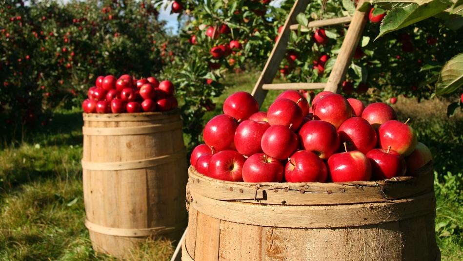 Víte, jak poznáte, že jsou jablka správně zralá, jak je sklízet auskladnit?