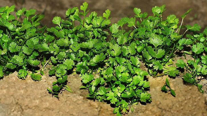 Jak pěstovat koriandr setý (Coriandrum sativum) za zahradě na záhonu