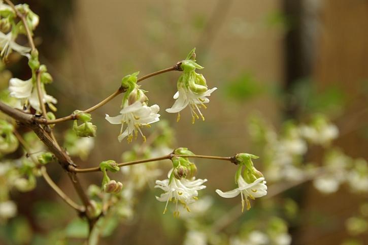 Lonicera purpusii kvete jako jedna z prvních