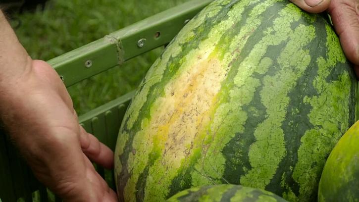Známka zralého melounu