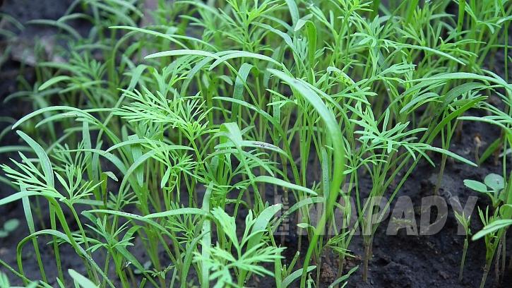 Kopr vonný je zelenina, koření i léčivka aneb I v srpnu ještě máme čas, abychom ho začali pěstovat  2