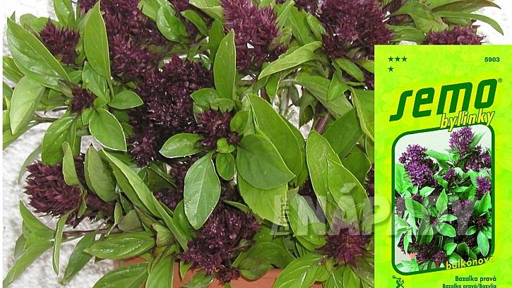 Mini bazalky pro truhlíky a květináče: odrůda SIAM QUEEN