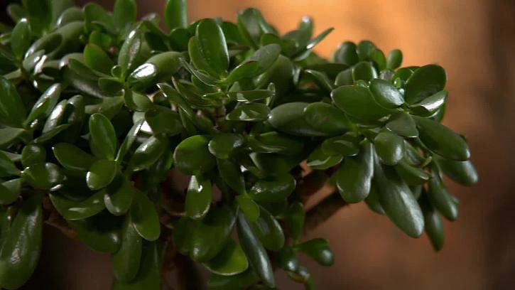 Listy tlustice vejčité