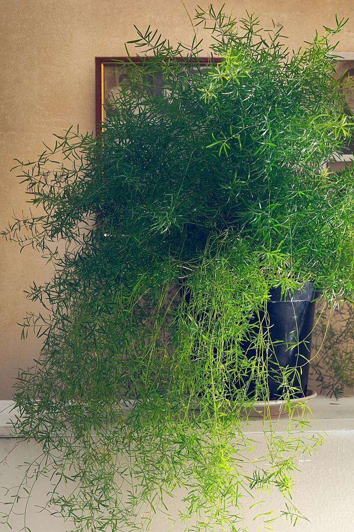 Asparagus košatý