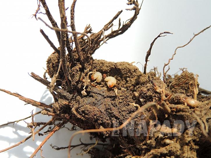 Larvy lalokonosce na kořenech jahodníku