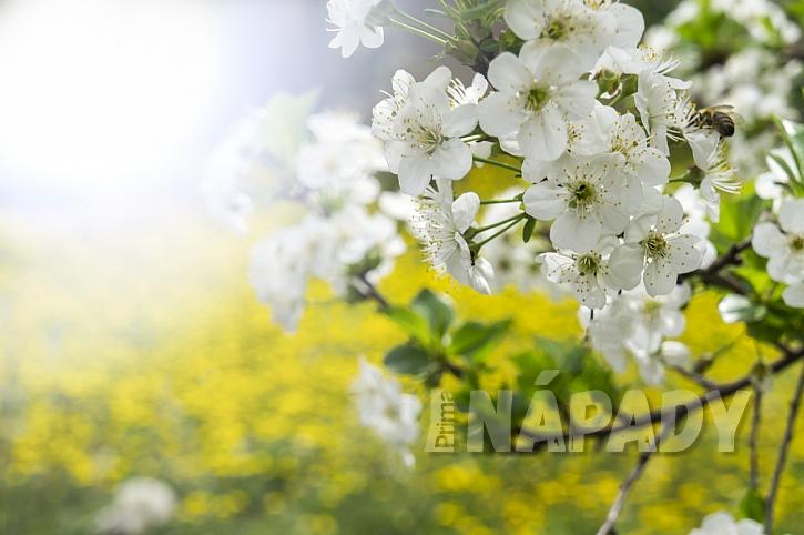 Na jaře, po opylení květů hmyzem, se začnou vytvářet malé oválné peckovice