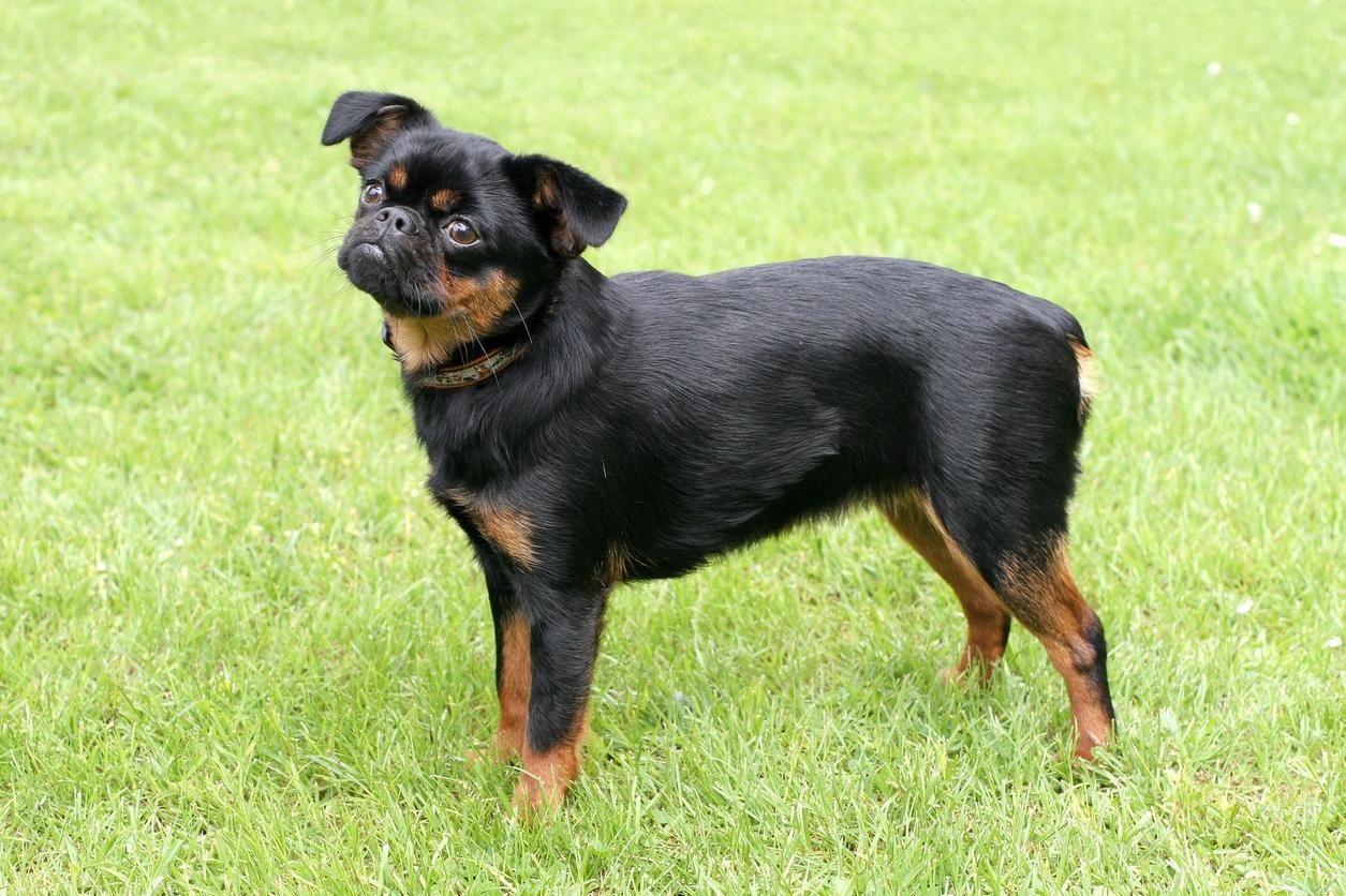 Grifonek brabantský: Rozvážný, přátelský avyrovnaný psík