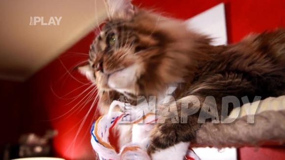 Plemeno kočky Mainská mývalí kočka