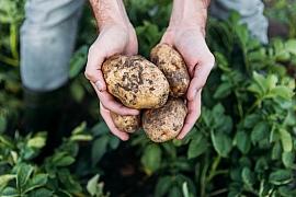 Jak ochránit brambory před některými chorobami?