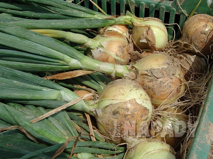Cibule odrůda Augusta