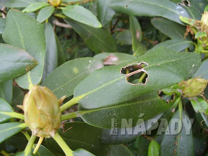 Poškození rododendronu lalokonoscem