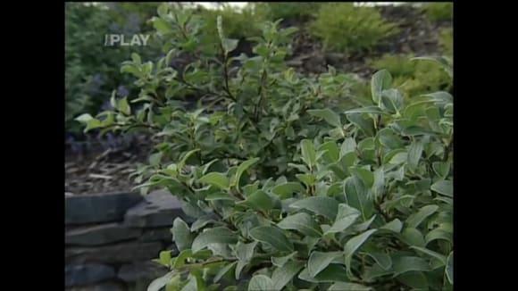 Pěstování okrasné vrby