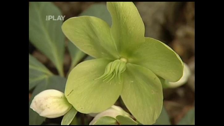 Zelené zbarvení květů
