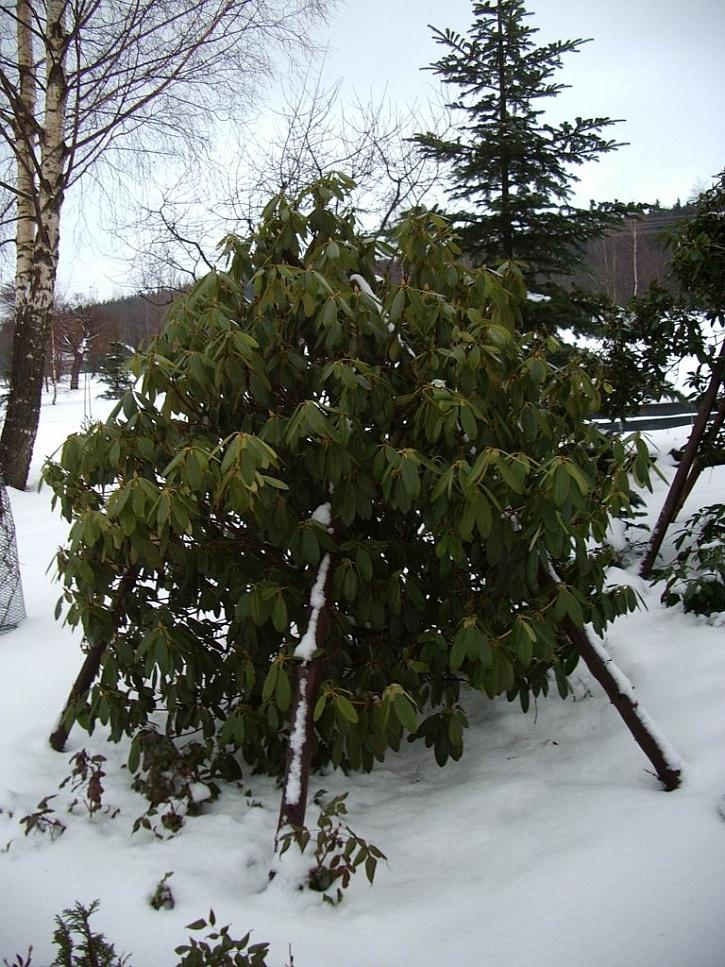 Rododendrony nemají rády vysokou sněhovou pokrývky, snadno se lámou