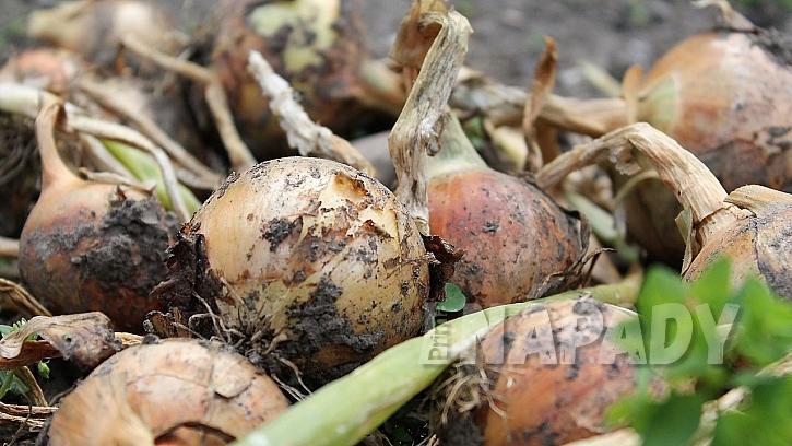 Cibuli napadají háďátko cibulové, padlí i sněť, které zůstávají v půdě i po sklizni