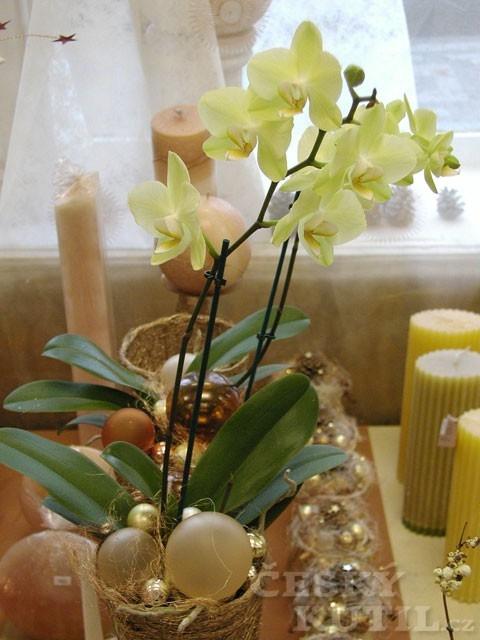 Falenopsis, můrovec