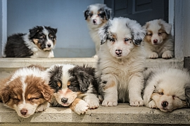 Nový pes je nejen obrovská radost, ale i velký závazek