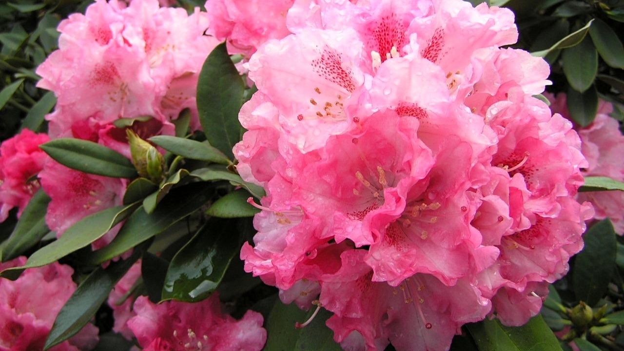 5 tipů, co můžeme udělat pro rododendrony, když odkvetou