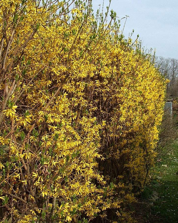 Zlatice-květy