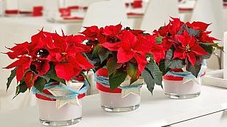 Nejkrásnější vánoční květiny: Víte, jak se o ně postarat?