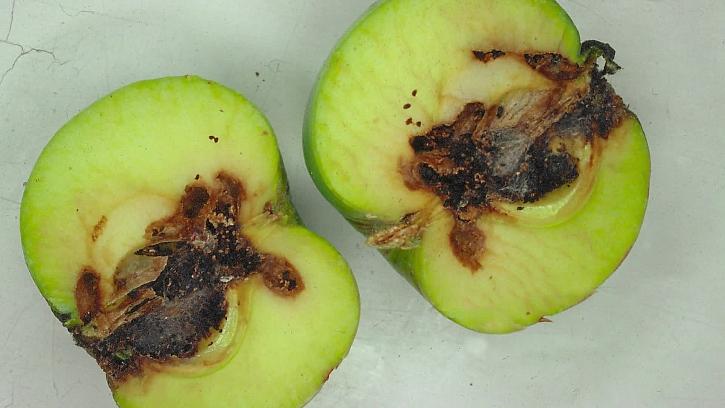 Jak na obaleče jablečného