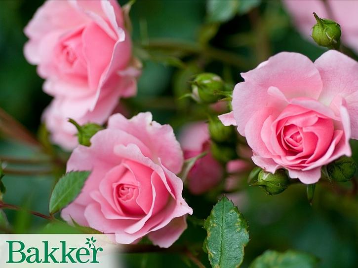 Jak správně pěstovat růže?