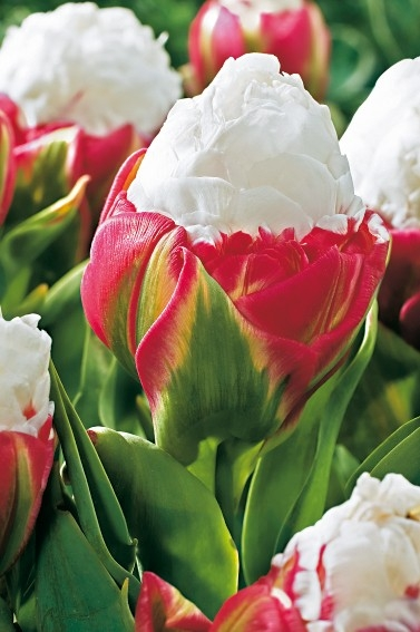 "Tulipány ""Ice Cream"""