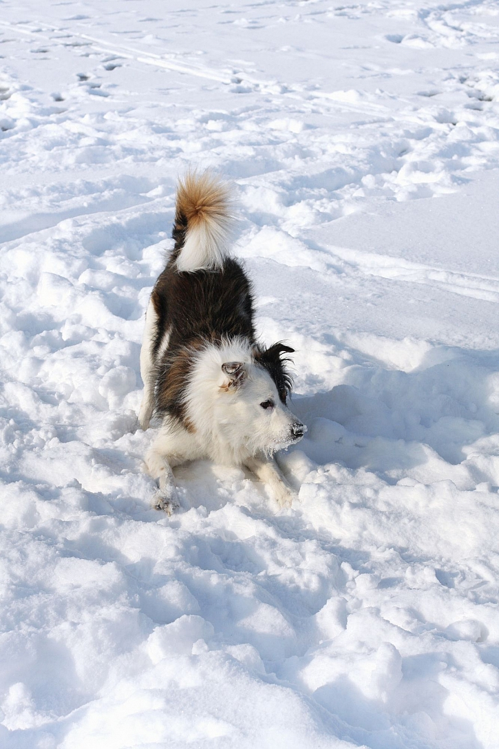 Pes ve sněhu