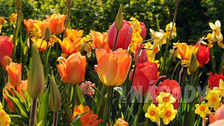 Předpověď počasí a zahrada: jarní cibuloviny už letos mají své za sebou