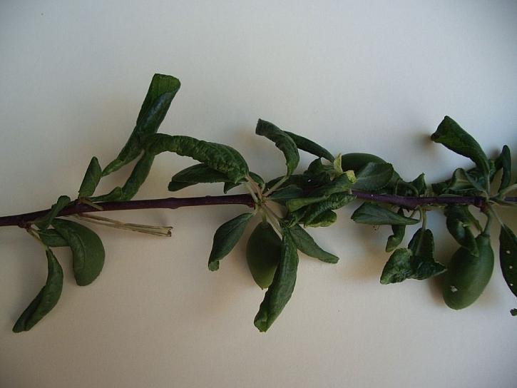 Mšice švestková škodí sáním na spodní straně listů