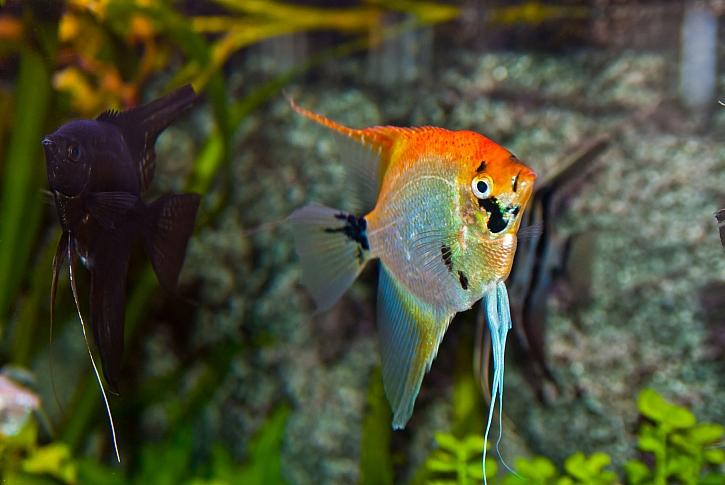 Duhová skalára je královnou mezi akvarijními rybkami (Zdroj: Depositphotos)