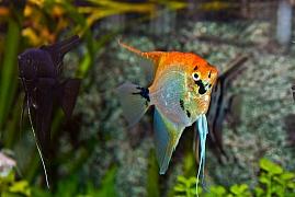 Skalára, královna mezi akvarijními rybami