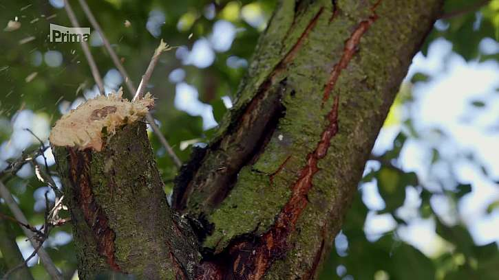 Uříznutá přesahující větev stromu.