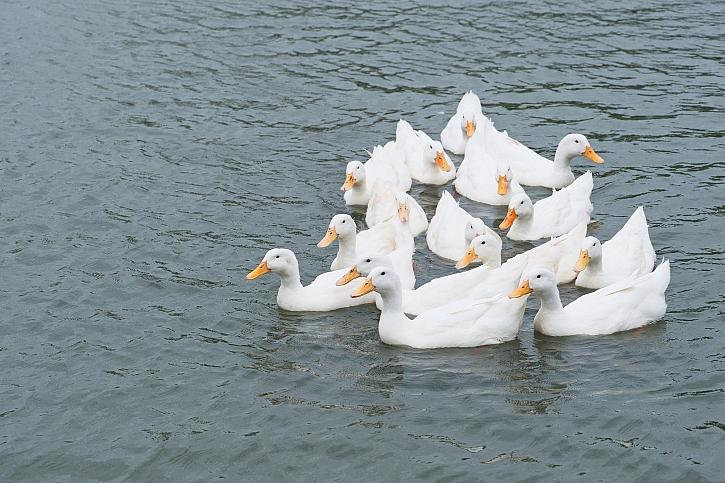 Bílé kachny