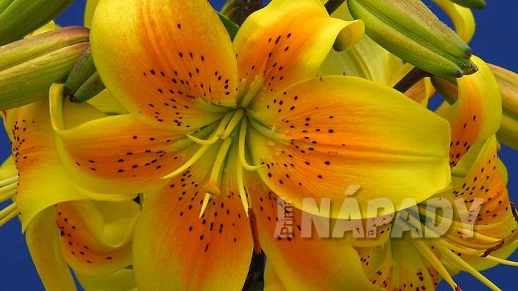 Užijte se květy lilií i doma bez bolesti hlavy a pylových skvrn:asijská lillie kultivar King Pete