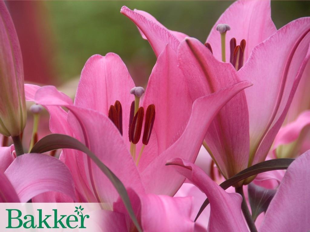 Lilie - důstojnost a elegance ve vaší zahradě