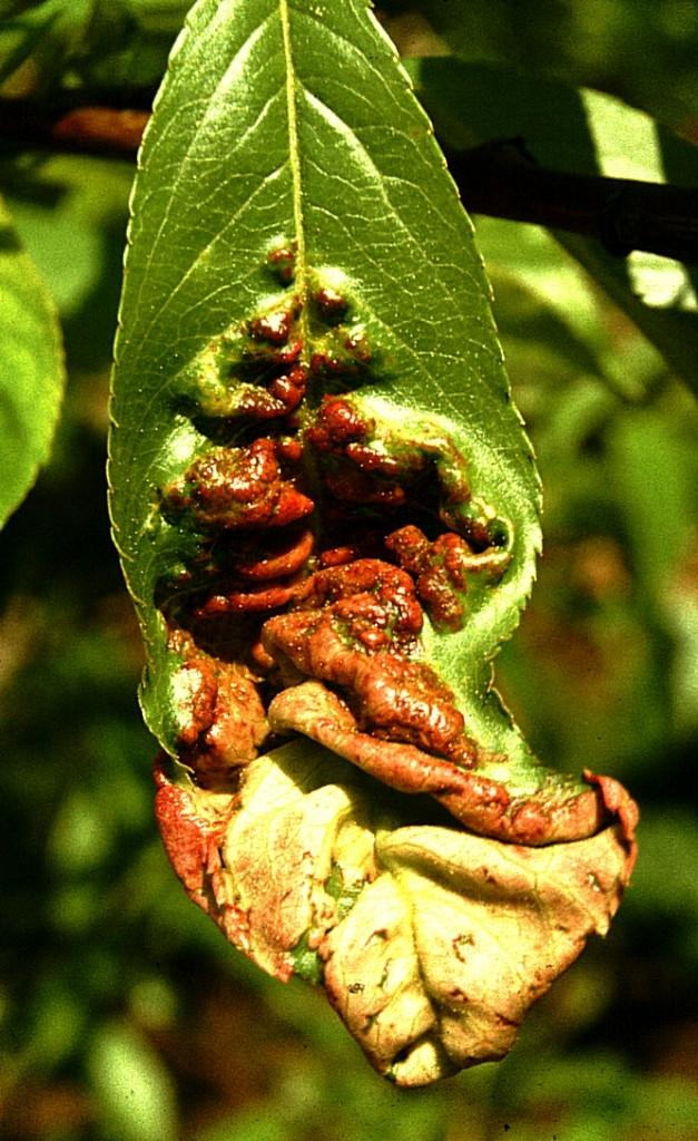 Kadeřavost broskví - podzimní ošetření