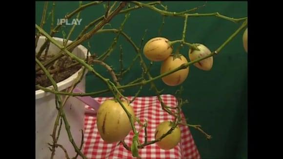 Jak pěstovat pepino gold