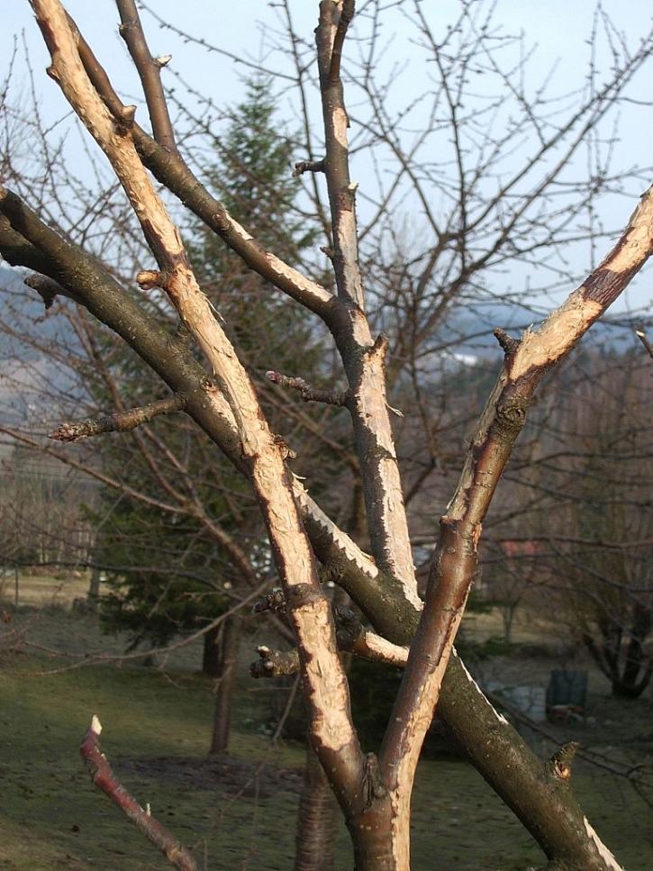 Okousané stromky