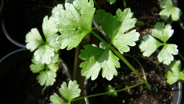 Chcete mít kvalitní celer? Vypěstujte si vlastní sadbu: vypěstování sadby trvá asi 6 týdnů