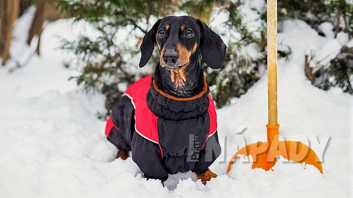 Krátkosrstým a malým a středním plemenům psů pořiďte na zimu obleček, který bude zakrývat záda abedra