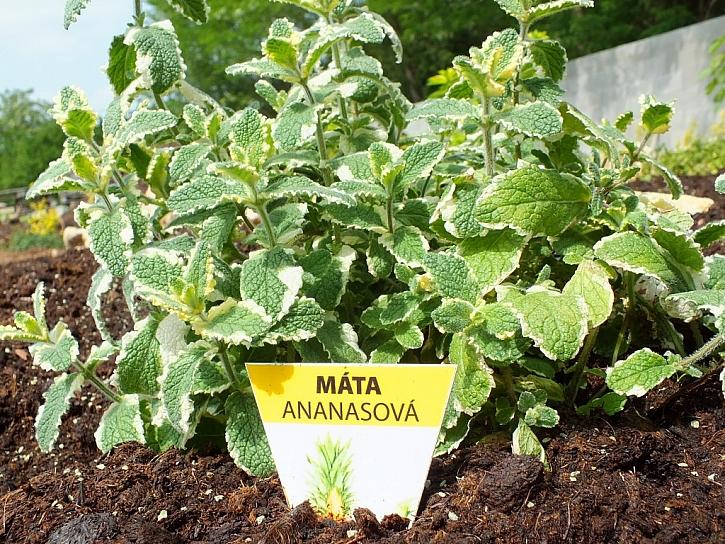 Fuchsie i bylinky najdete v Mělníce v bylinkové zahrádce aneb pozvánka na zajímavou akci