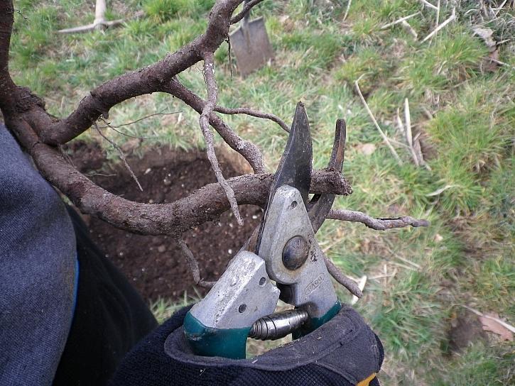 Zastřižení kořenů