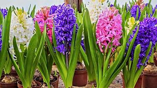 Víte, co dělat, když doma hyacintu žloutnou listy nebo zahnívají květy?