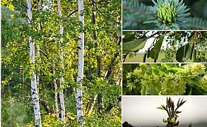 Objevte léčivou sílu mladých listů a pupenů stromů