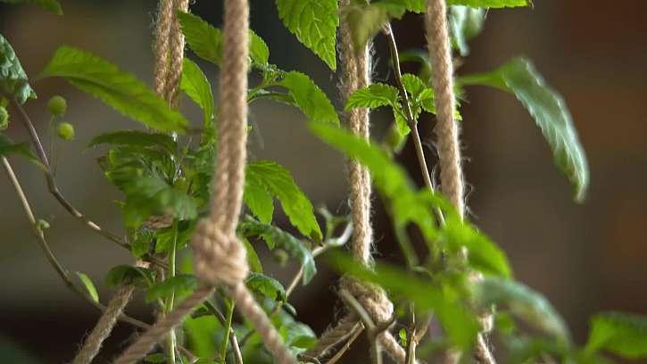 Pěstování bylin