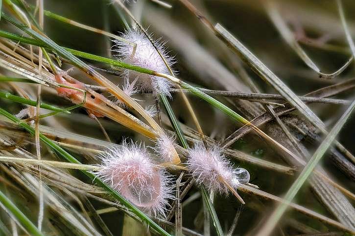 Nová choroba trávníku - nejedlá houba Laetisaria Fuciformis neboli Kornatka travní (Zdroj: Depositphotos (https://cz.depositphotos.com))